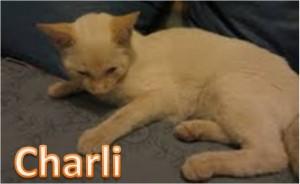gato adopcion Valladolid, blanco, ojos azules, 6 meses, castrado