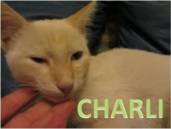 gato adopcion, blanco, ojos azules, castrado, 6 meses