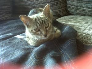 Preciosa gatita en adopción en Valladolid, atigrada, muy cariñosa